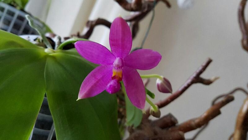 Phalaenopsis tetraspis x violacea (Jennifer Palermo) oder Phal. speciosa x violacea (Germaine Vincent) - Seite 3 20170114