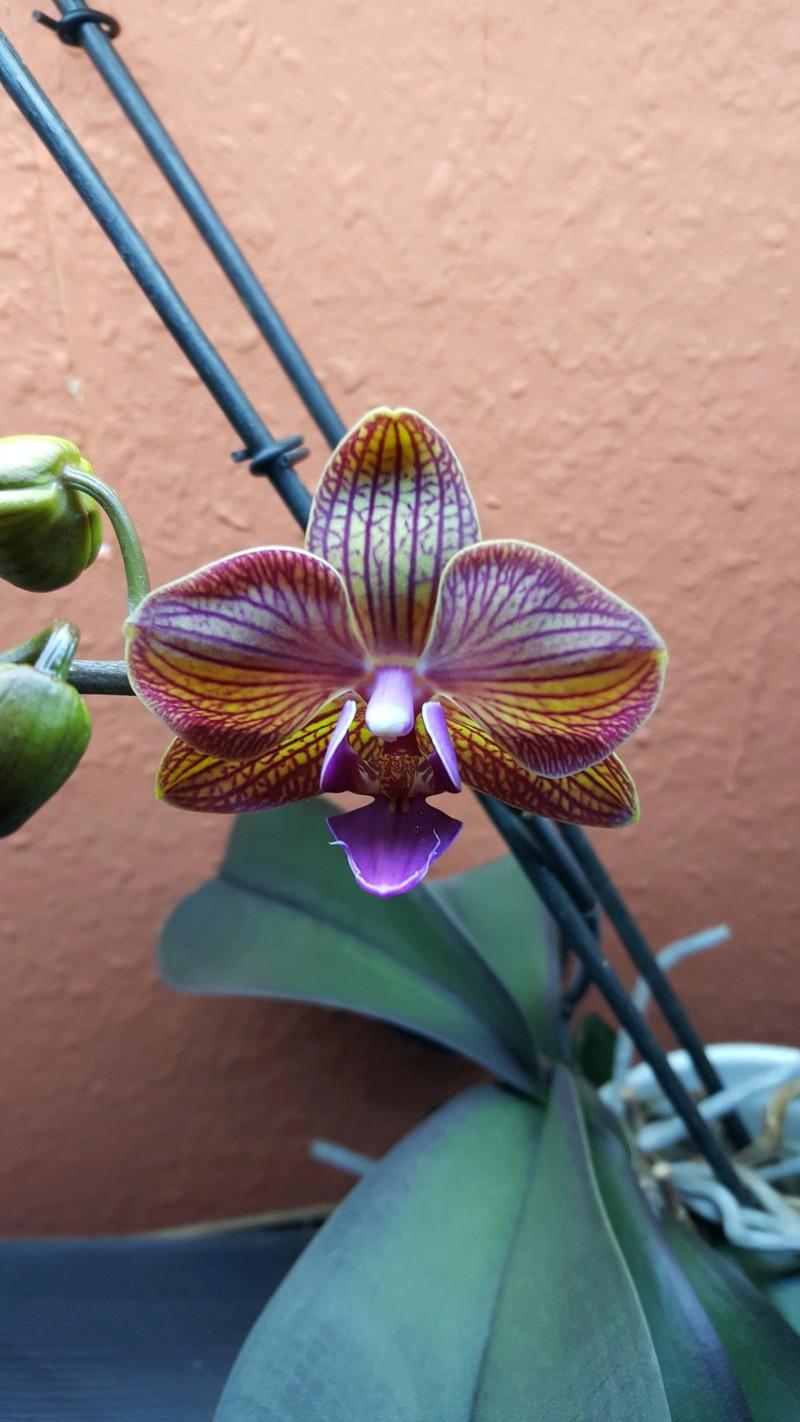 Phalaenopsis ein Jahr ohne Blüherfolg - Seite 2 Blyte_10