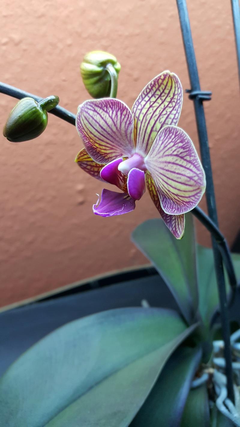 Phalaenopsis ein Jahr ohne Blüherfolg - Seite 2 Blyte_11