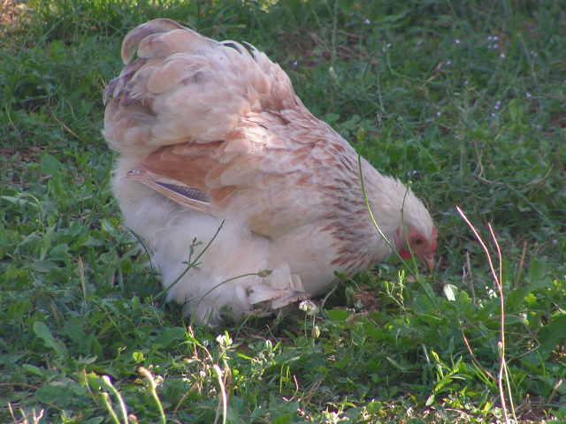 Grande exposition /concours avicole virtuel de fin d'année spécial Gallinacée (100 euros à gagner) Pict0212
