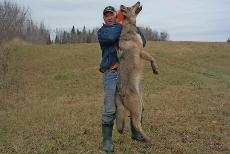 Installation et capture d'un loup avec un Bridger Alaskan 02311