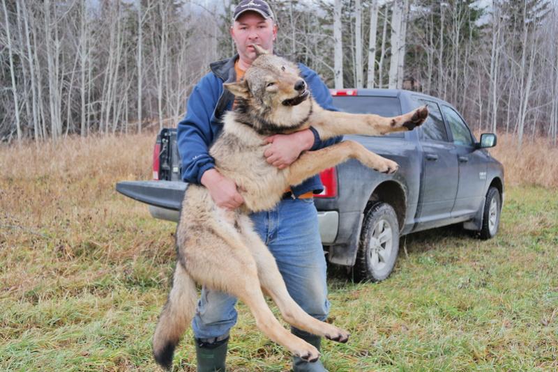 Installation et capture d'un loup avec un Bridger Alaskan 03610