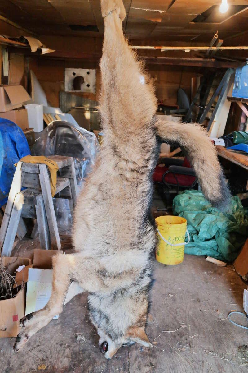 Installation et capture d'un loup avec un Bridger Alaskan 04510