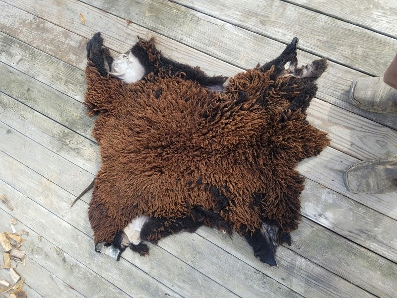 Tanned sheep skin  14840710