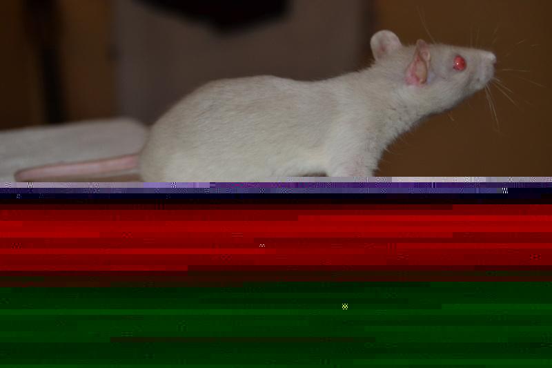 couleurs des ratons Dsc_0310