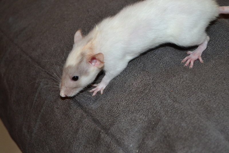 couleurs des ratons Dsc_0316