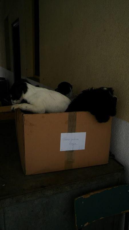 BLACKY petit croise berger noir et feu - BULGARIE 15870510