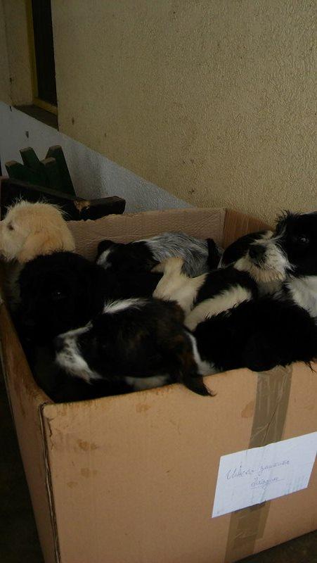 BLACKY petit croise berger noir et feu - BULGARIE 15909910