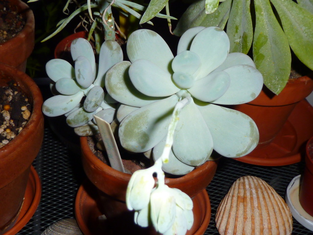 Graptopetalum amethystinum ou Pachyphytum oviferum ? [identification non terminée] P1090312