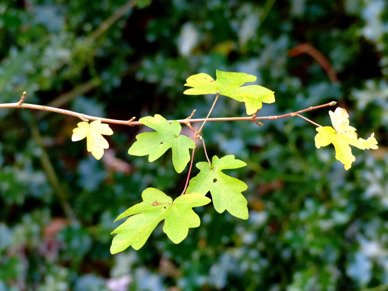 Acer campestre - érable champêtre - Page 3 P1130211
