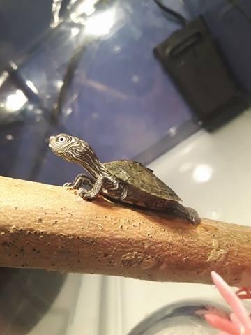 Question à propos de ma tortue aquatique 15749810