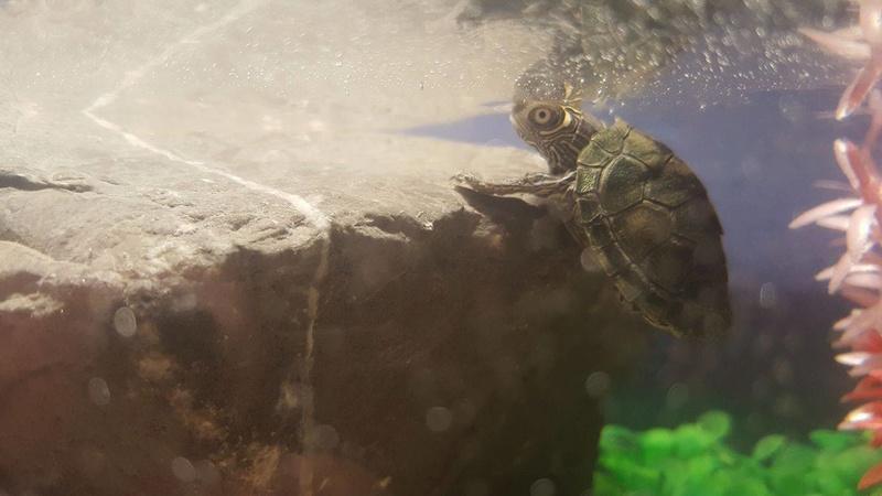 Question à propos de ma tortue aquatique 15902610