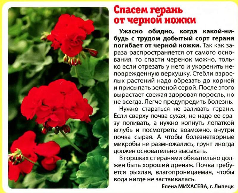 Пеларгония (Герань) - Страница 2 O_6a3312