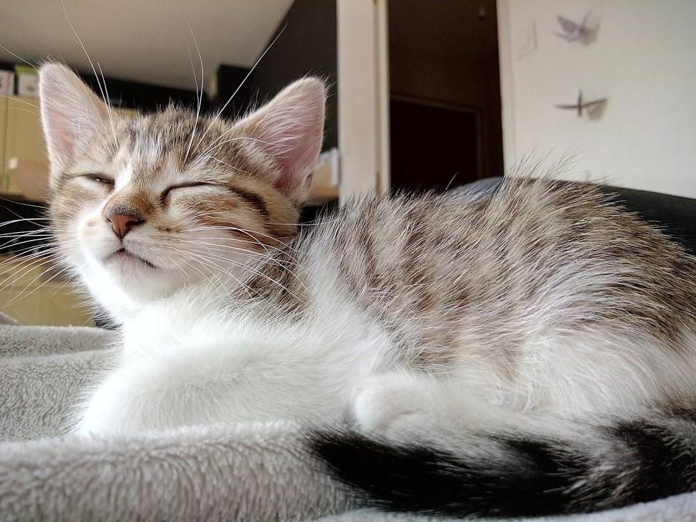 Osiris, femelle type européenne tigrée et blanche, née le 20 avril 2018 Img_2071