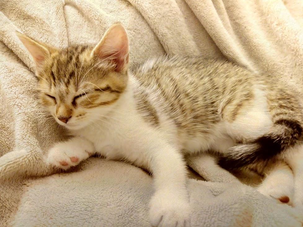 Osiris, femelle type européenne tigrée et blanche, née le 20 avril 2018 Img_2073