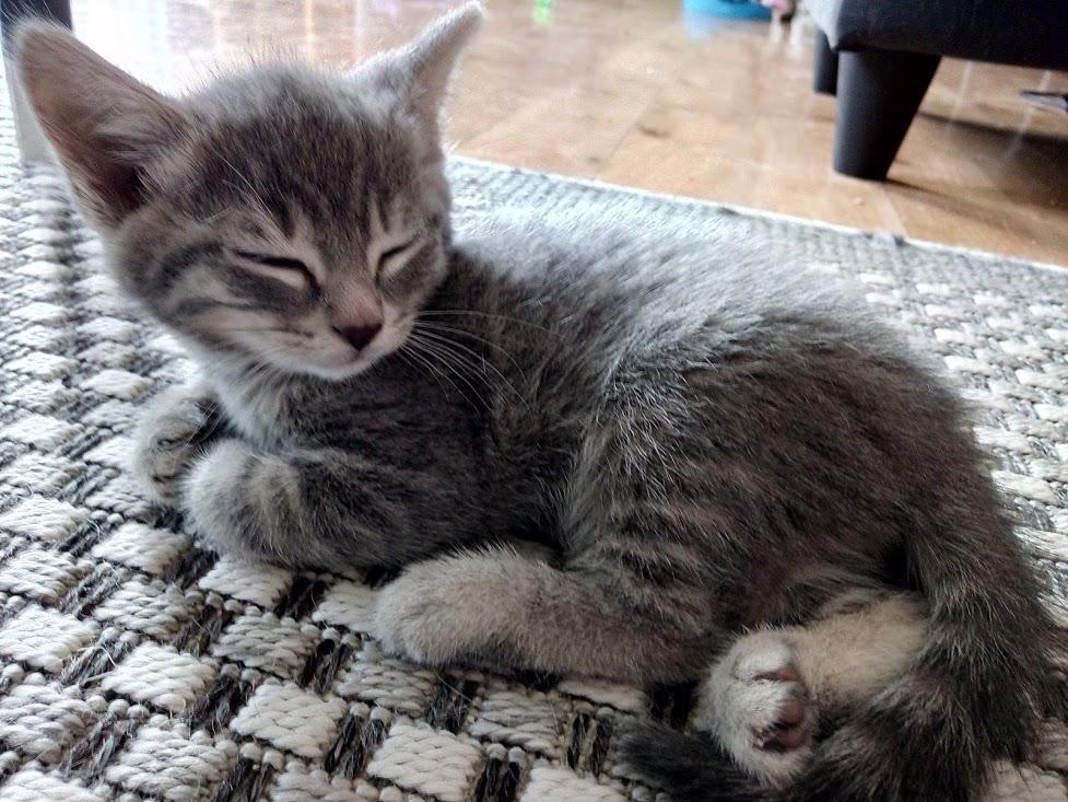 Oscar, mâle type européen tigré gris, né le 20 avril 2018 Img_2086