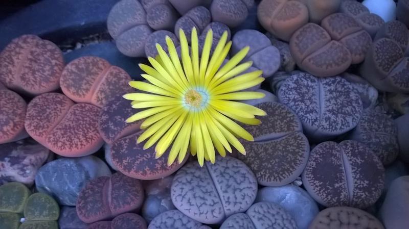 Fleurs de Lithops Wp_20112