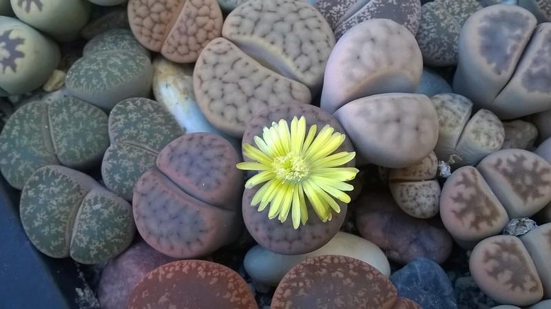 Fleurs de Lithops Wp_20341