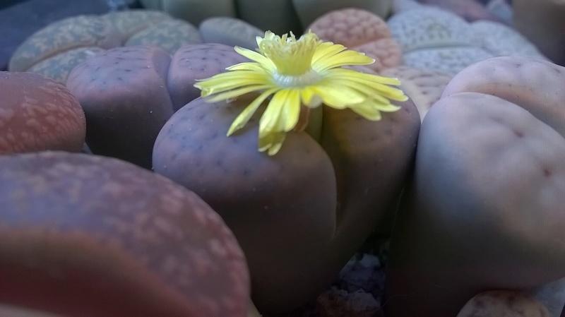 Fleurs de Lithops Wp_20343