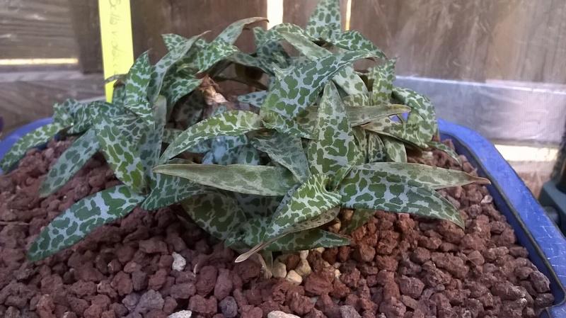 Scilla violacea/Ledebouria socialis Wp_20543