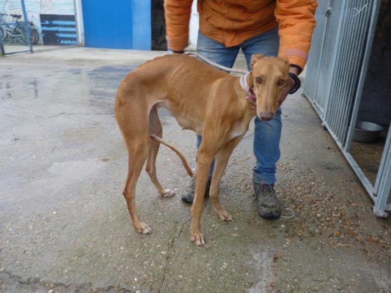 Paris galga tres douce à l'adoption Adoptée  P1400411