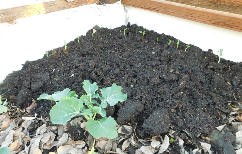 January: What to plant in Northern California and Central Valley areas - Page 2 Peas11