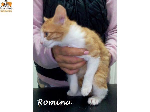 ROMINA - BLANCHE & ROUSSE - FEMELLE - ES  15873111
