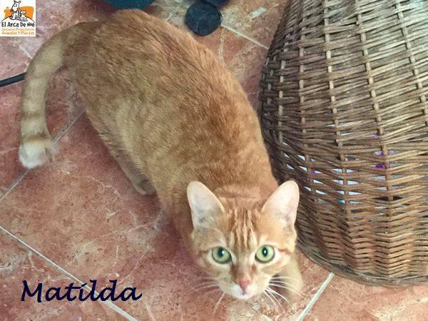MATILDA - ROUSSE - FEMELLE - ES  16114611