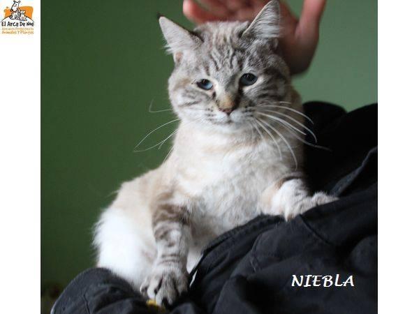 NIEBLA - CROISE SIAMOIS - FEMELLE - ES  16387911