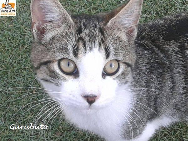 GARABATO - TIGRE BLANC - MÂLE - ES  16388112