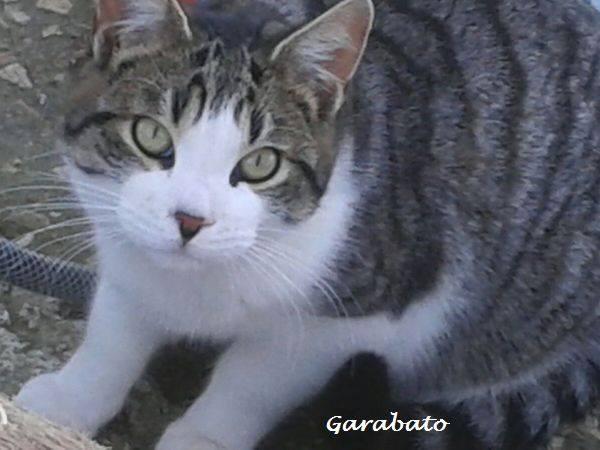 GARABATO - TIGRE BLANC - MÂLE - ES  16473310