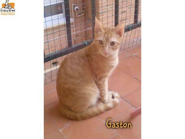 GASTON - TIGRE ROUX - MÂLE - ES  16473512