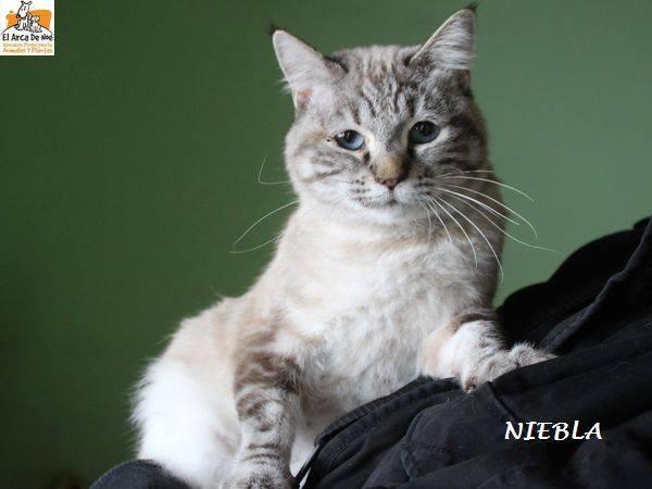NIEBLA - CROISE SIAMOIS - FEMELLE - ES  16508210