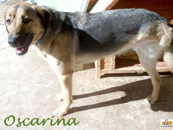 OSCARINA (devenue INA) - CROISEE BERGER ALLEMAND - FEMELLE - ES  16708412