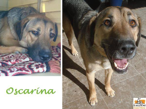 OSCARINA (devenue INA) - CROISEE BERGER ALLEMAND - FEMELLE - ES  16708510