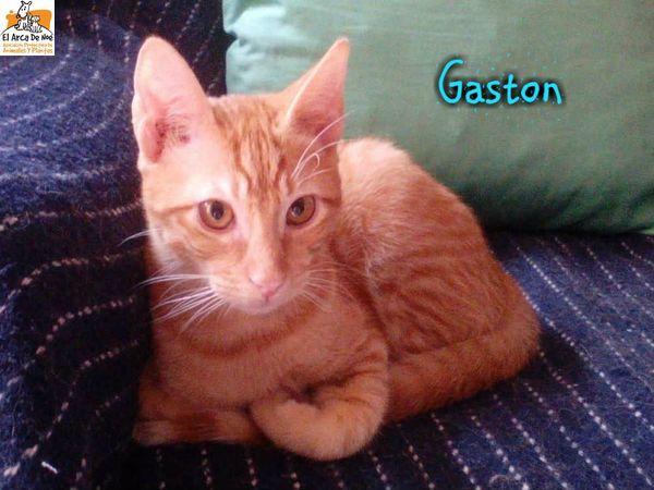 GASTON - TIGRE ROUX - MÂLE - ES  Gaston14