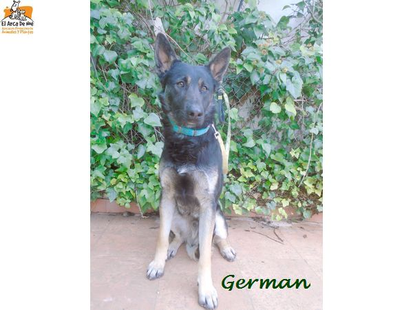 GERMAN (devenu ORSO) - MÂLE - ES  P1612111