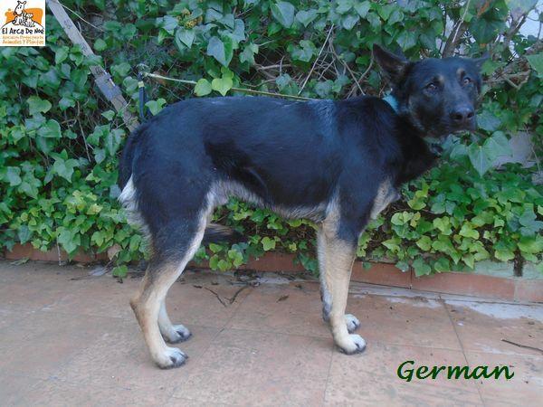 GERMAN (devenu ORSO) - MÂLE - ES  P1612113