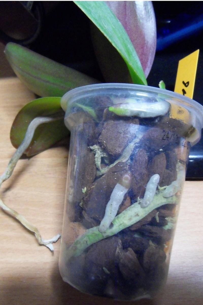 Orchidée dont les feuilles fanent...  1111