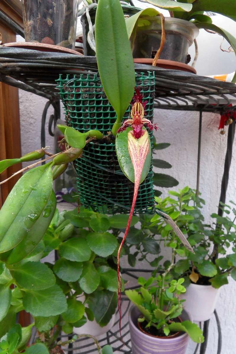 Bulbophyllum fascinator 114