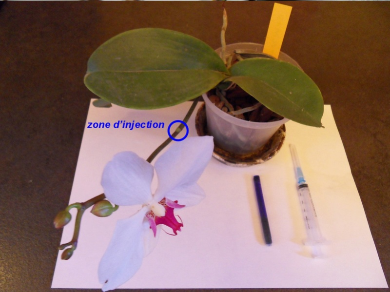 Expérimentation de coloration en bleu des fleurs d'un Phalaenopsis blanc A12