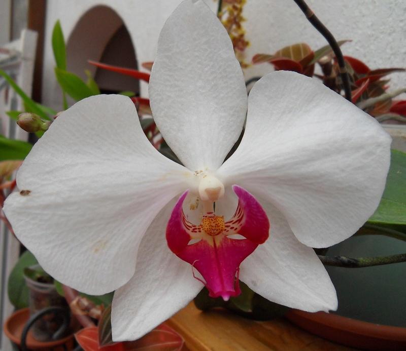 Expérimentation de coloration en bleu des fleurs d'un Phalaenopsis blanc B11