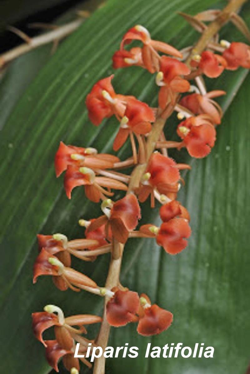 Liparis latifolia Dddddd11