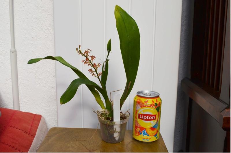 Liparis latifolia Mmmmmm10