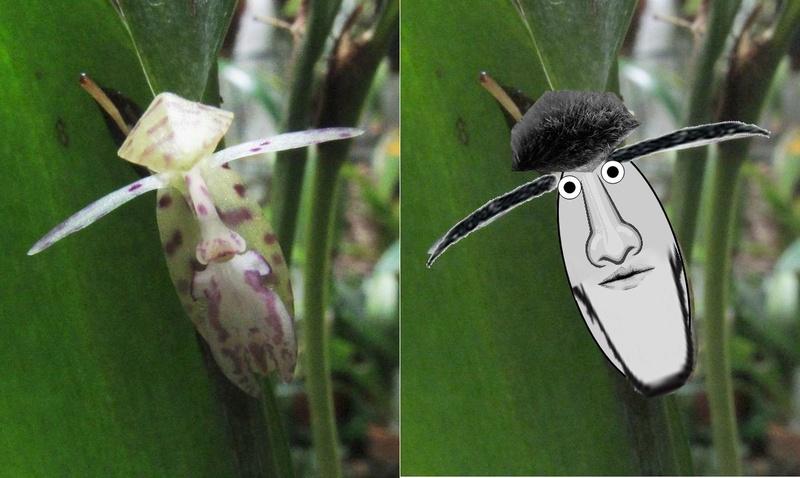 Talpinaria bivalvis Rrrrrr10