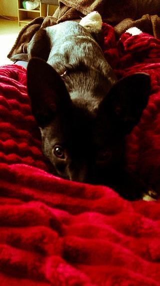 POUPI, chiot femelle, née en décembre 2015 (Pascani)-REMEMBER ME LAND - adoptée par Ludivine (Belgique) - Page 3 15935510