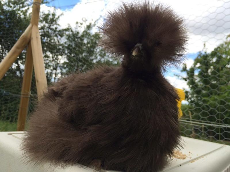 Grande exposition /concours avicole virtuel de fin d'année spécial Gallinacée (100 euros à gagner) 13445610