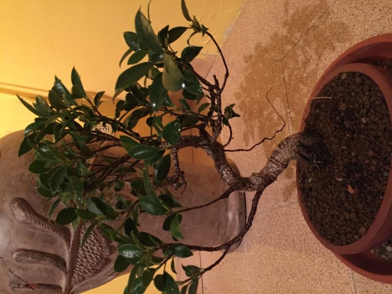 Radice aerea Ficus  Img_4010