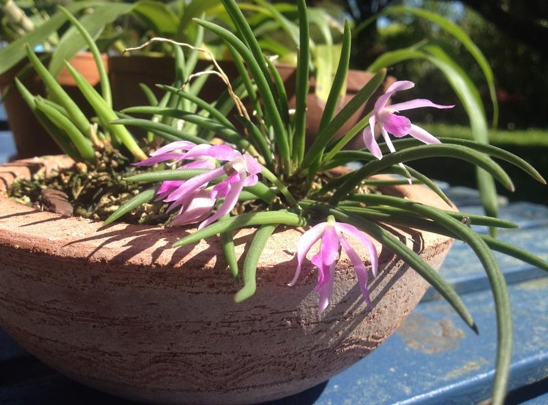 orchidée miniature  Img_1411