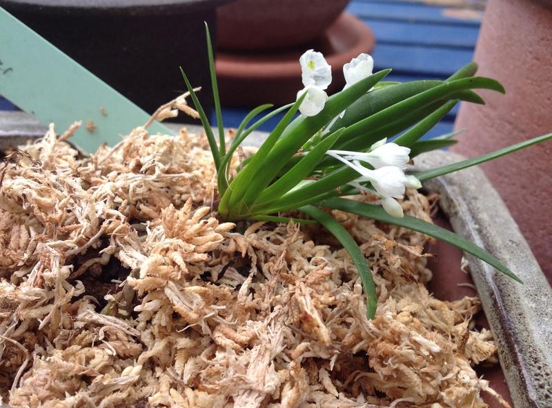 orchidée miniature  Img_1511